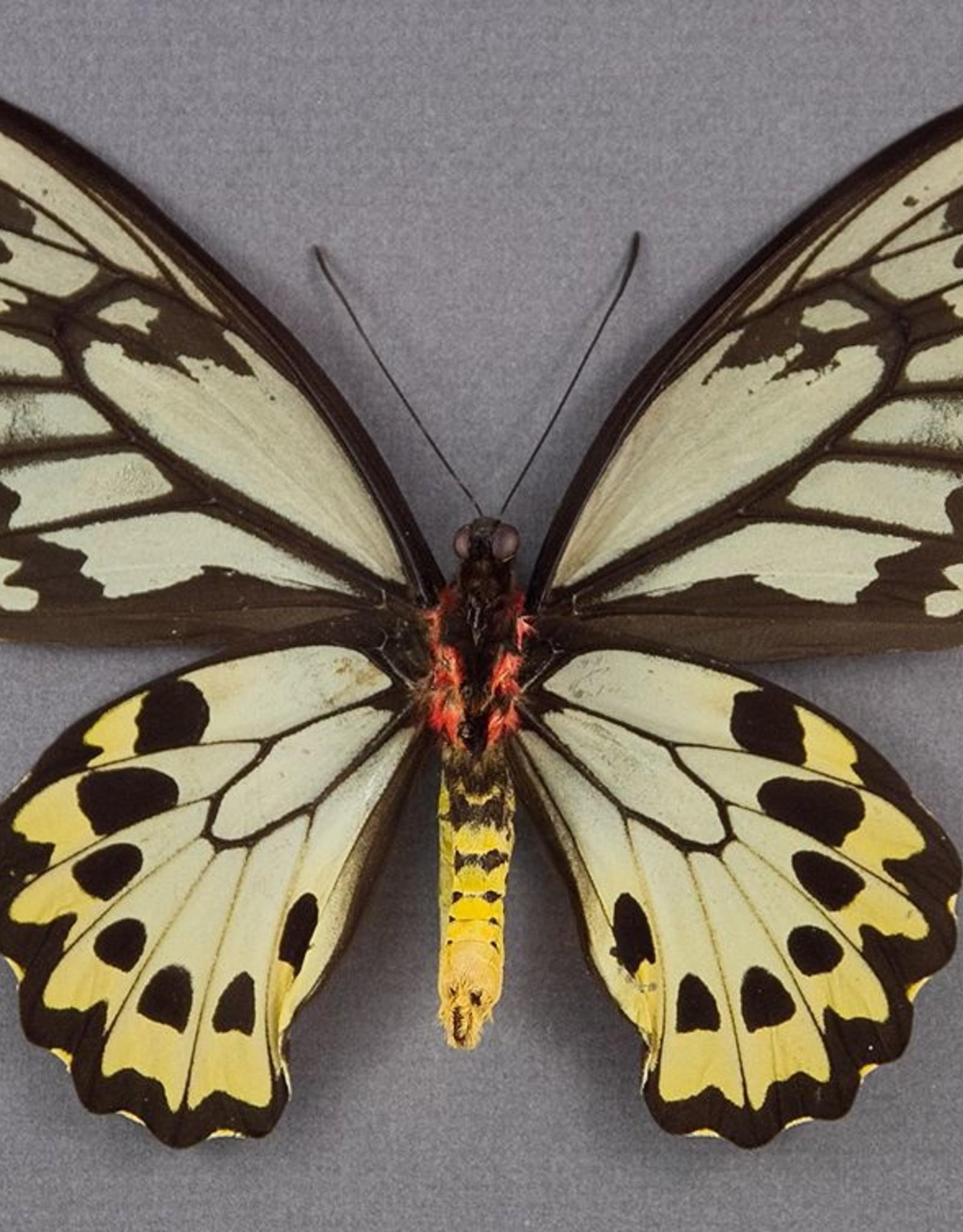 Ornithoptera croesus lydius PAIR A1 Halmahera Island, Indonesia
