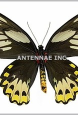 Ornithoptera priamus aruana PAIR A1 Aru Island, Indonesia