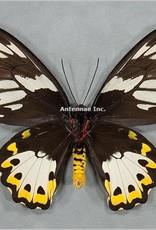 Ornithoptera priamus poseidon F A1 Arfak, Irian Jaya, Indonesia