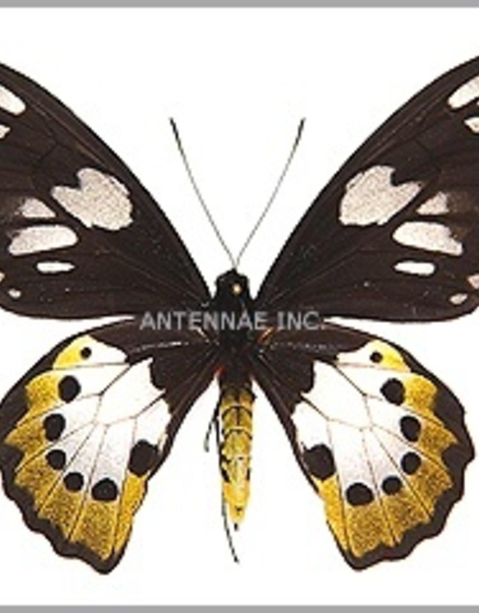 Ornithoptera paradisea arfakensis PAIR A1 Indonesia