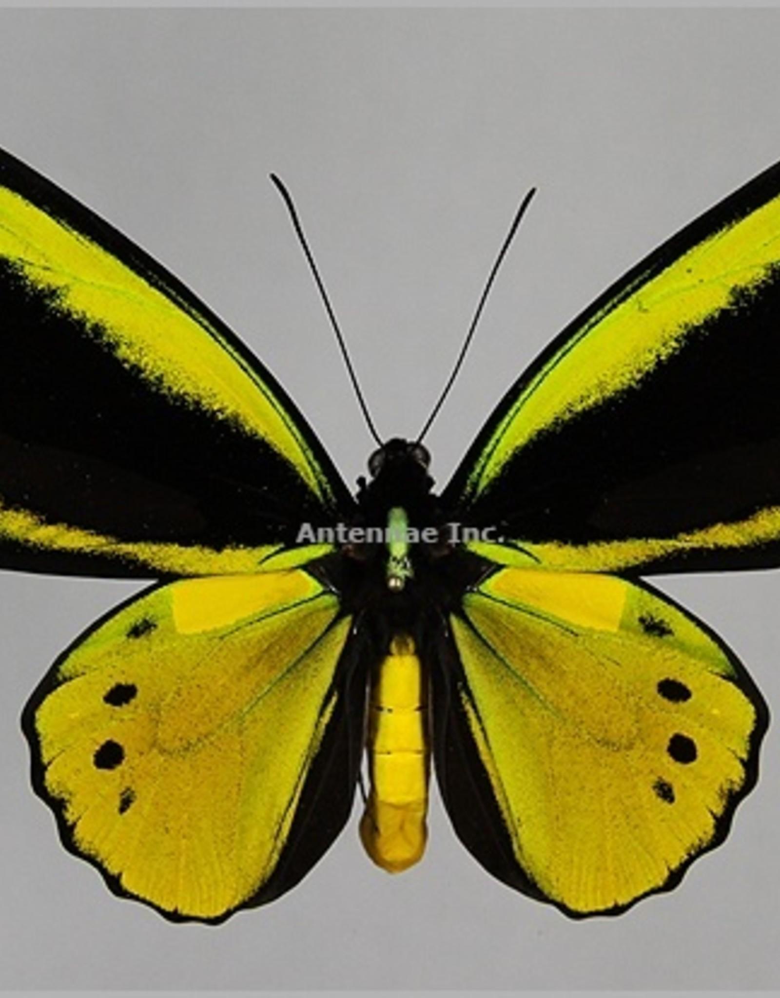 Ornithoptera croesus lydius x Ornithoptera priamus poseidon HYBRID PAIR A1 Indonesia
