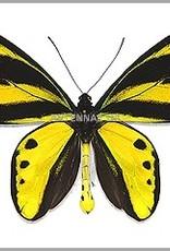 Ornithoptera tithonus misresiana PAIR A1 Irian Jaya, Indonesia