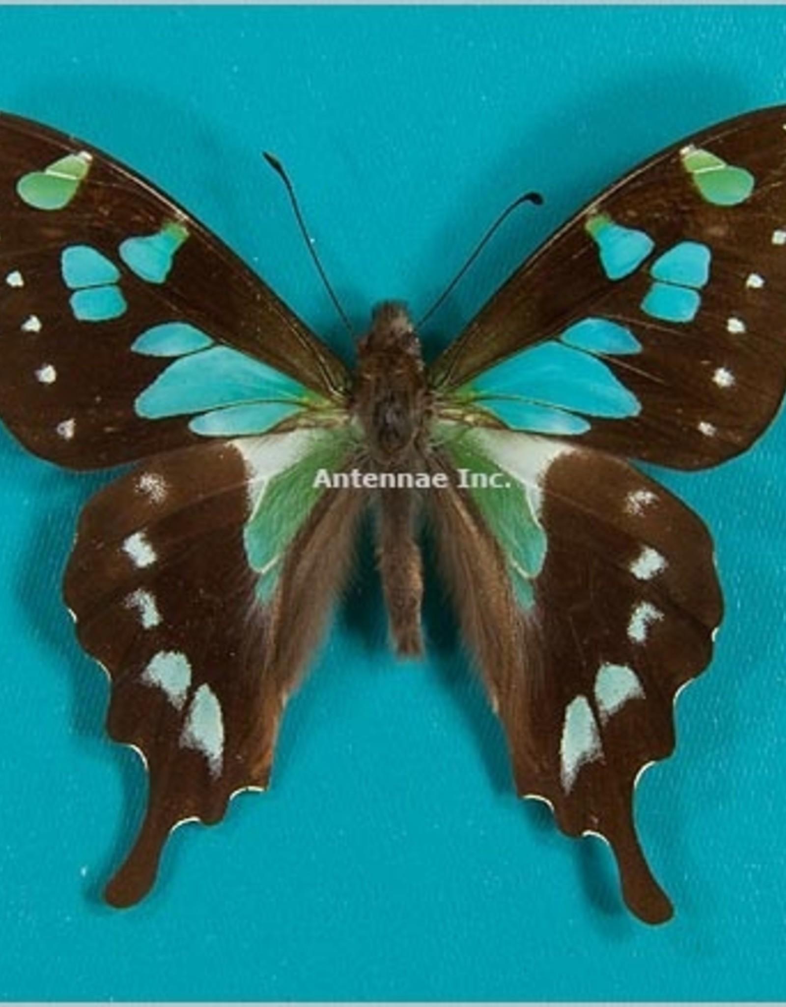 Graphium stresemanni M A1 Indonesia