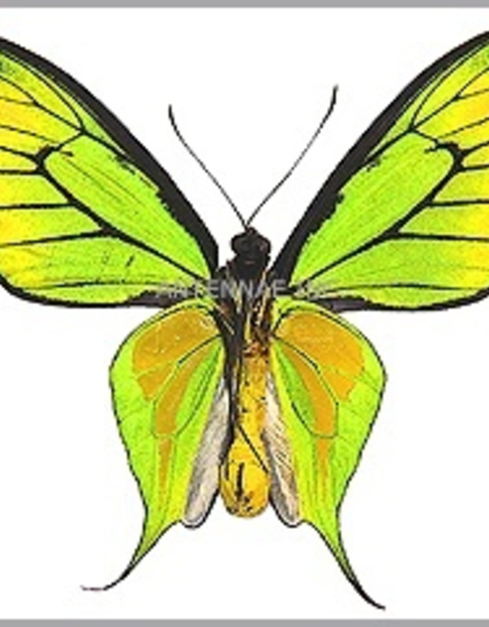 Ornithoptera paradisea flavescens (local form of O. p. detanii) M A1 Timika, Irian Jaya, Indonesia