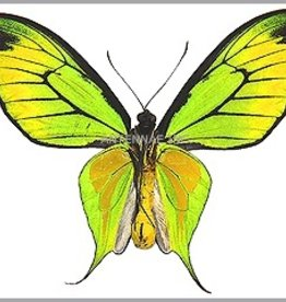 Ornithoptera paradisea flavescens (local form of O. p. detanii) M A1 Indonesia