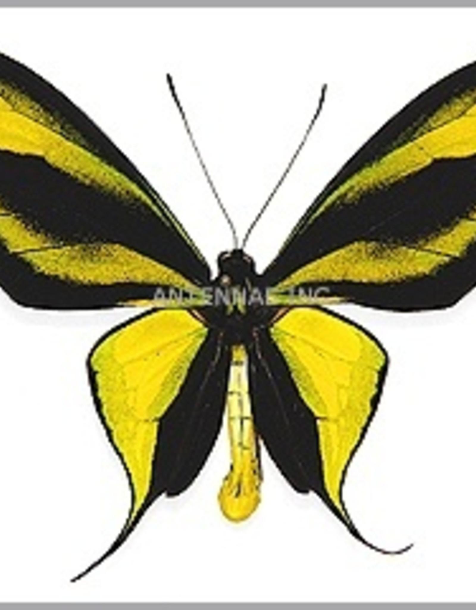 Ornithoptera paradisea arfakensis PAIR A1 Indonesia EXTRA LARGE >7.8cm
