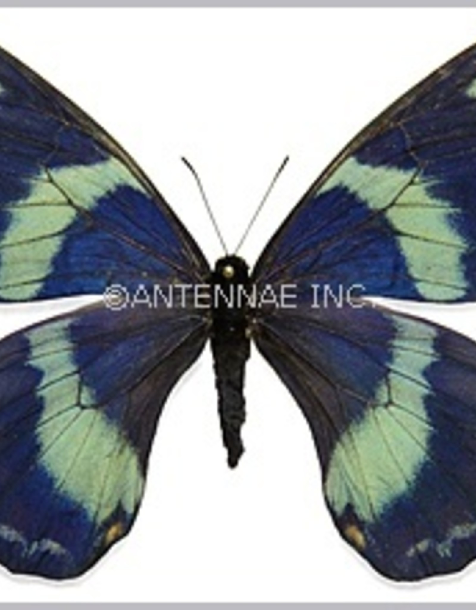 Papilio toboroi F A1/A1- Solomon Islands