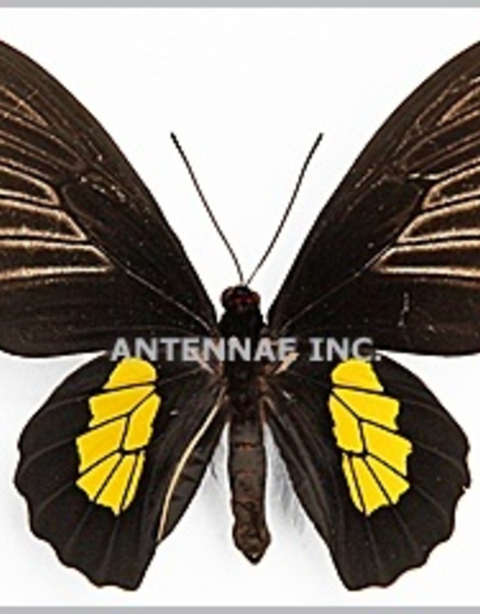 Troides haliphron pallens PAIR A1 Indonesia