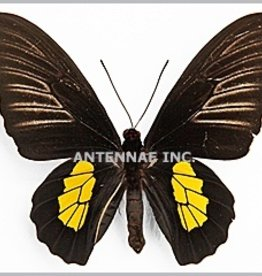 Troides haliphron pallens PAIR A1 Indonesia