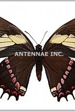 Papilio aristeus bitias M A1 UHV, Peru