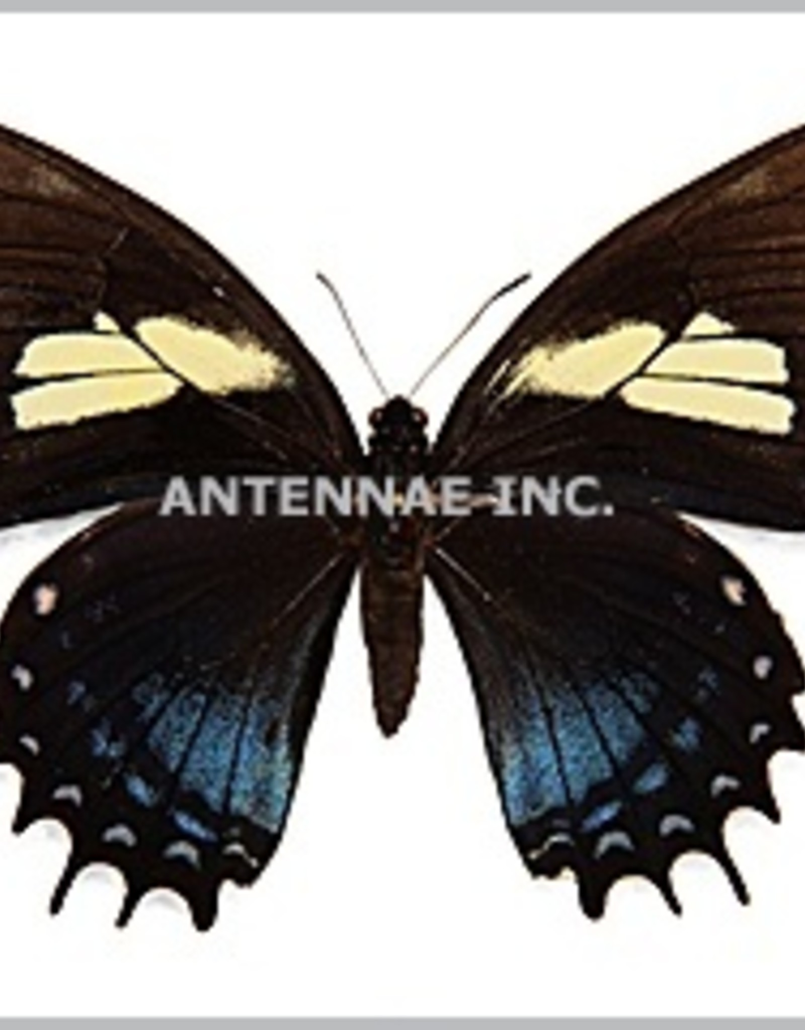Papilio aristeus bitias M A1 Peru