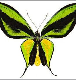 Ornithoptera paradisea flavescens (local form of O. p. detanii) PAIR A1 Indonesia