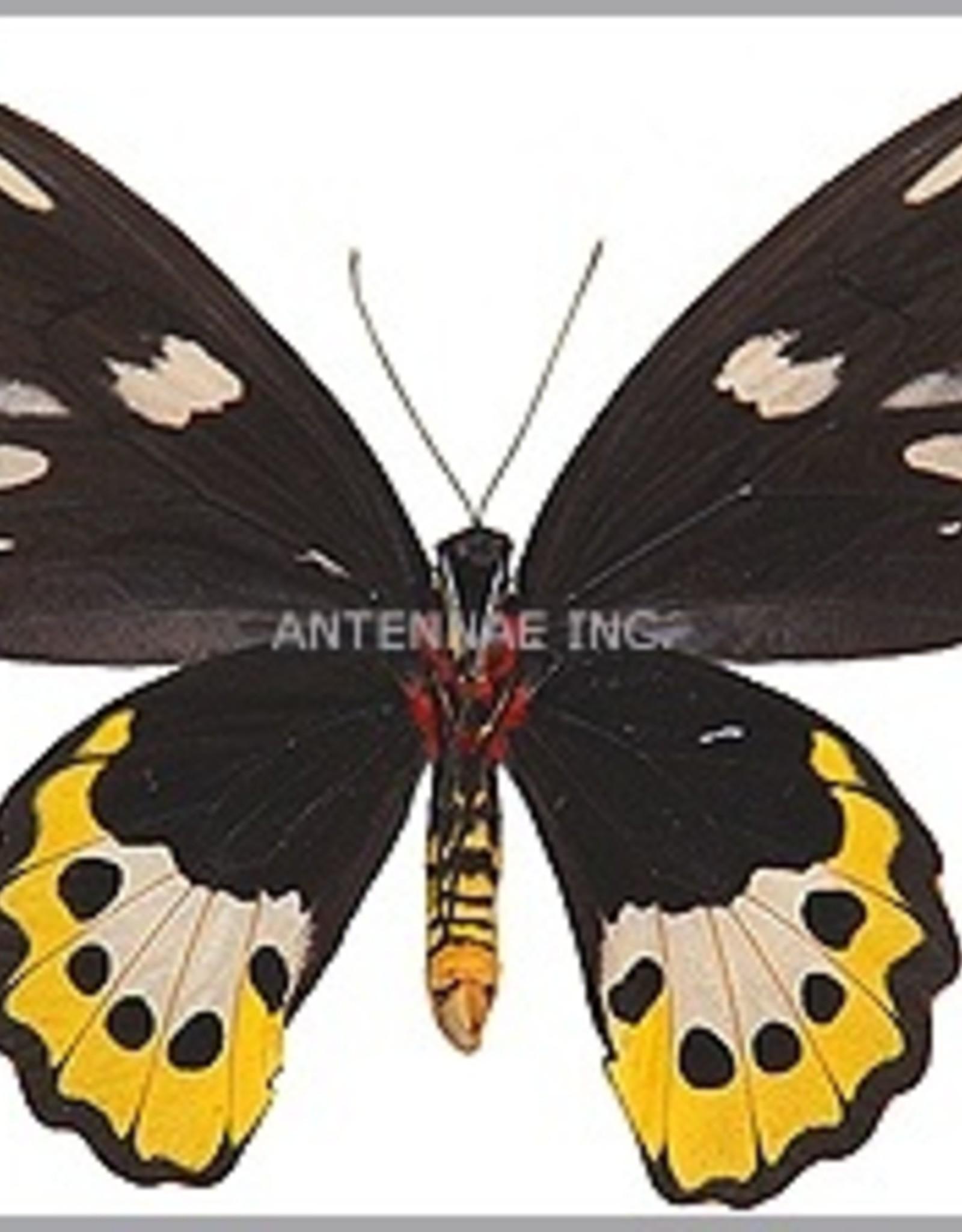 Ornithoptera paradisea flavescens (local form of O. p. detanii) PAIR A1 Timika, Irian Jaya, Indonesia