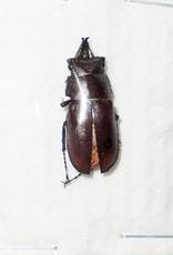 Prismognathus dauricus coreanus M A1 South Korea 2.0 cm