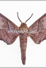 Polyptychus orthographus M A1 Cameroon
