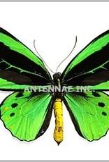 Ornithoptera priamus hecuba M A1 Kei Island, Indonesia