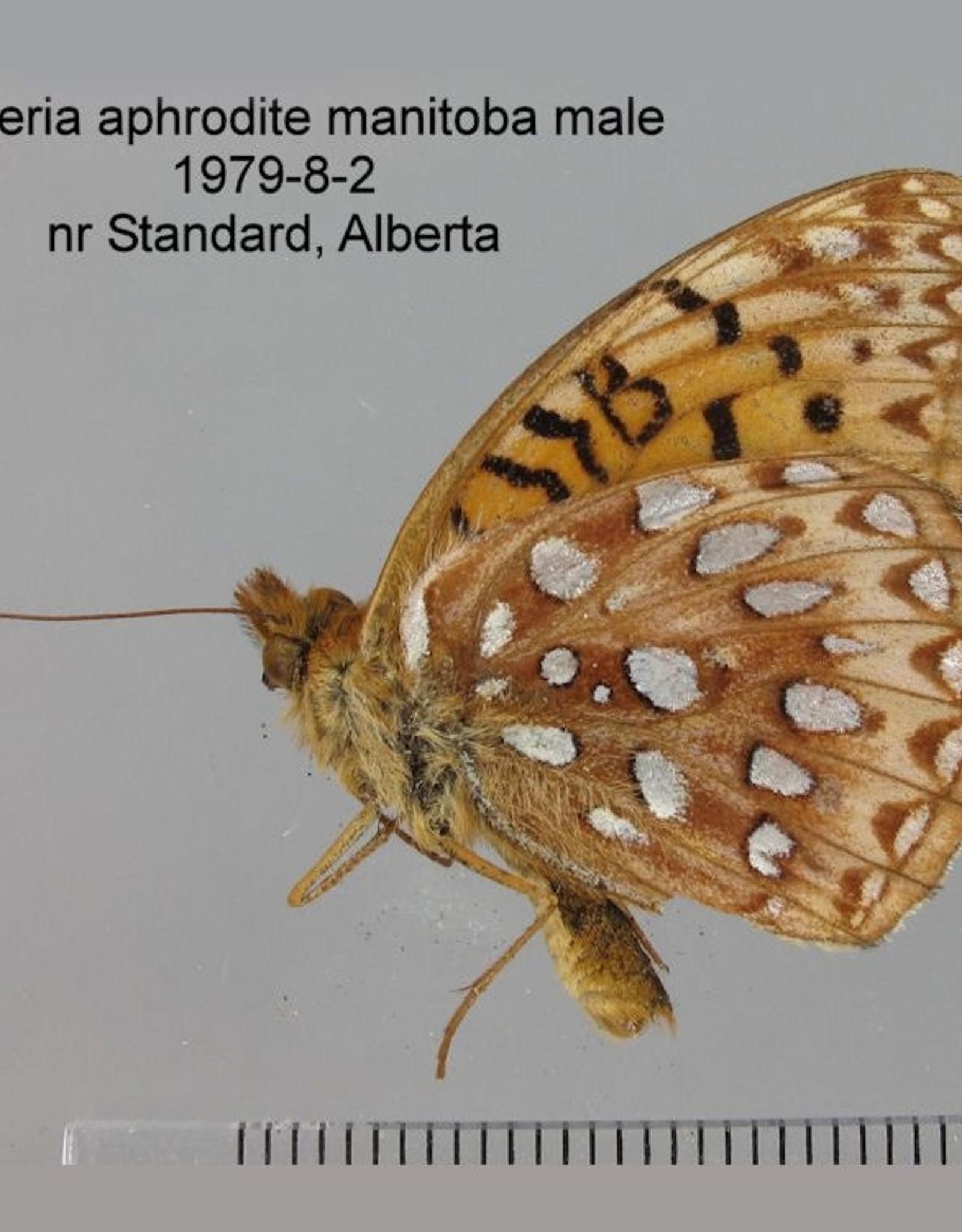 Speyeria aphrodite manitoba F A1 Canada