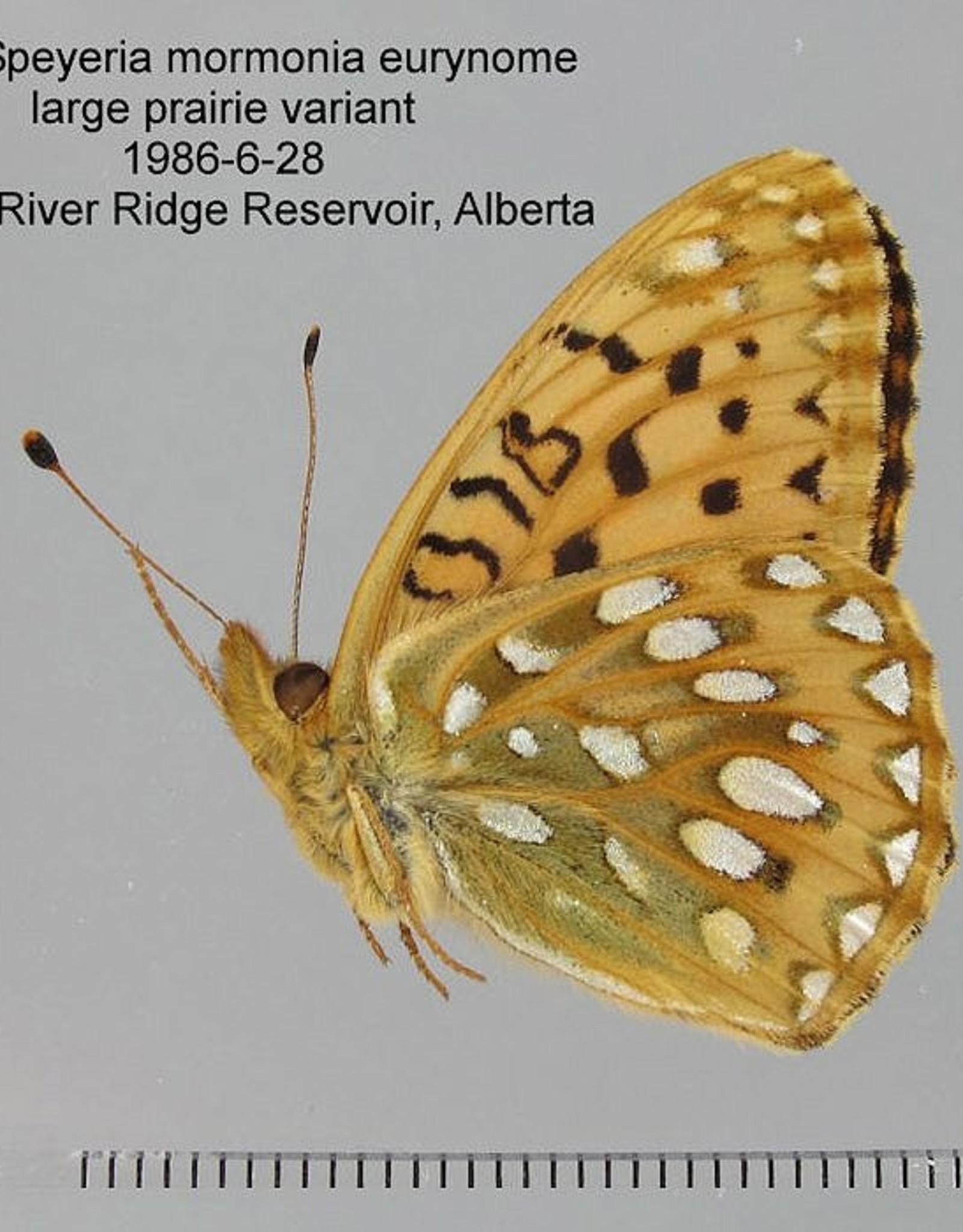 Speyeria mormonia eurynome M A1- Canada