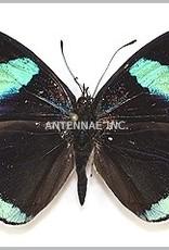 Diaethria neglecta M A1 Peru
