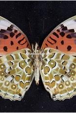 Argyreus hyperbius niugini PAIR A1 PNG