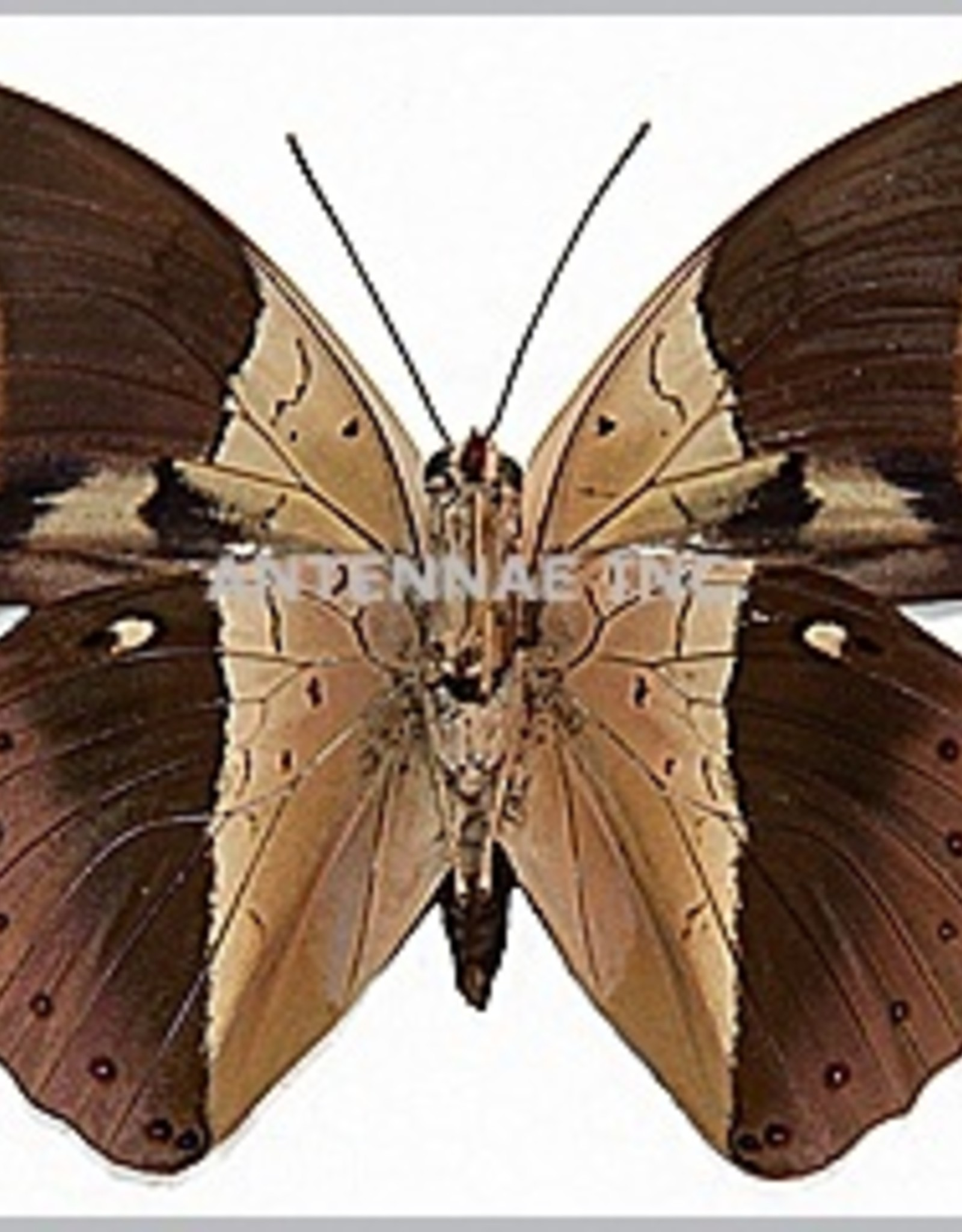 Prepona (Archeoprepona) amphimachus symaithus M A1 Peru
