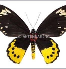 Ornithoptera paradisea chrysanthemum PAIR A1 Indonesia