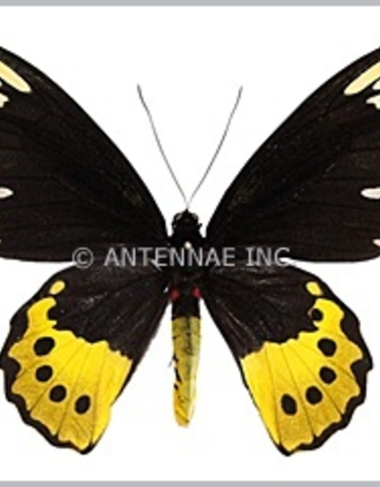 Ornithoptera paradisea chrysanthemum PAIR A1 Irian Jaya, Indonesia