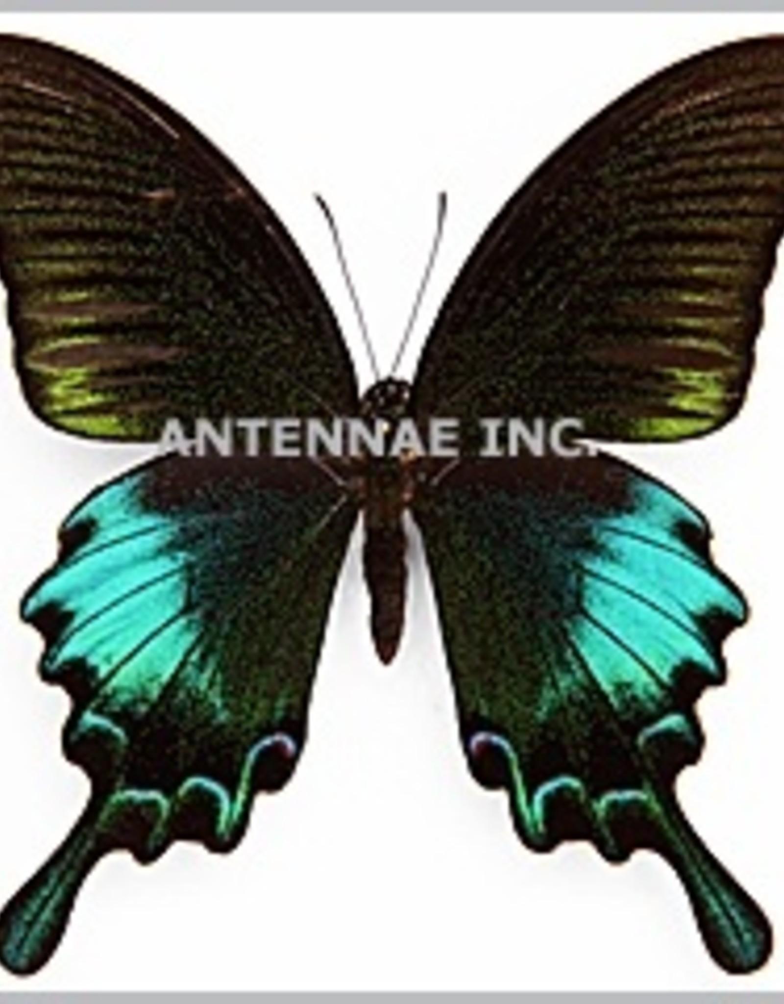 Papilio bianor thrasymedes F A1 Taiwan