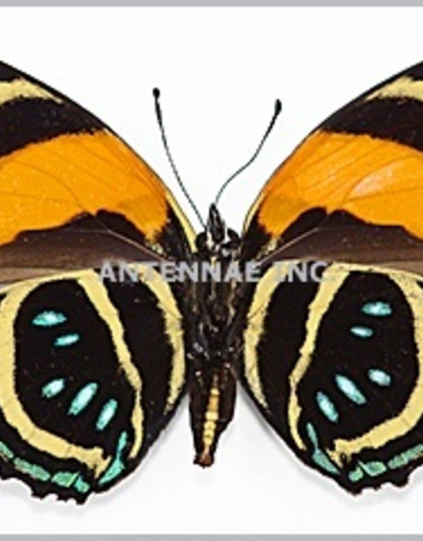 Callicore aegina M A1 Peru