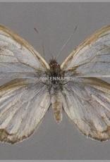 Argyrophorus argenteus F A1 Argentina