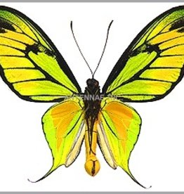 Ornithoptera paradisea occidentalis M A1 Indonesia