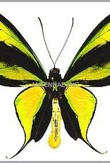 Ornithoptera paradisea occidentalis M A1 Indonesia