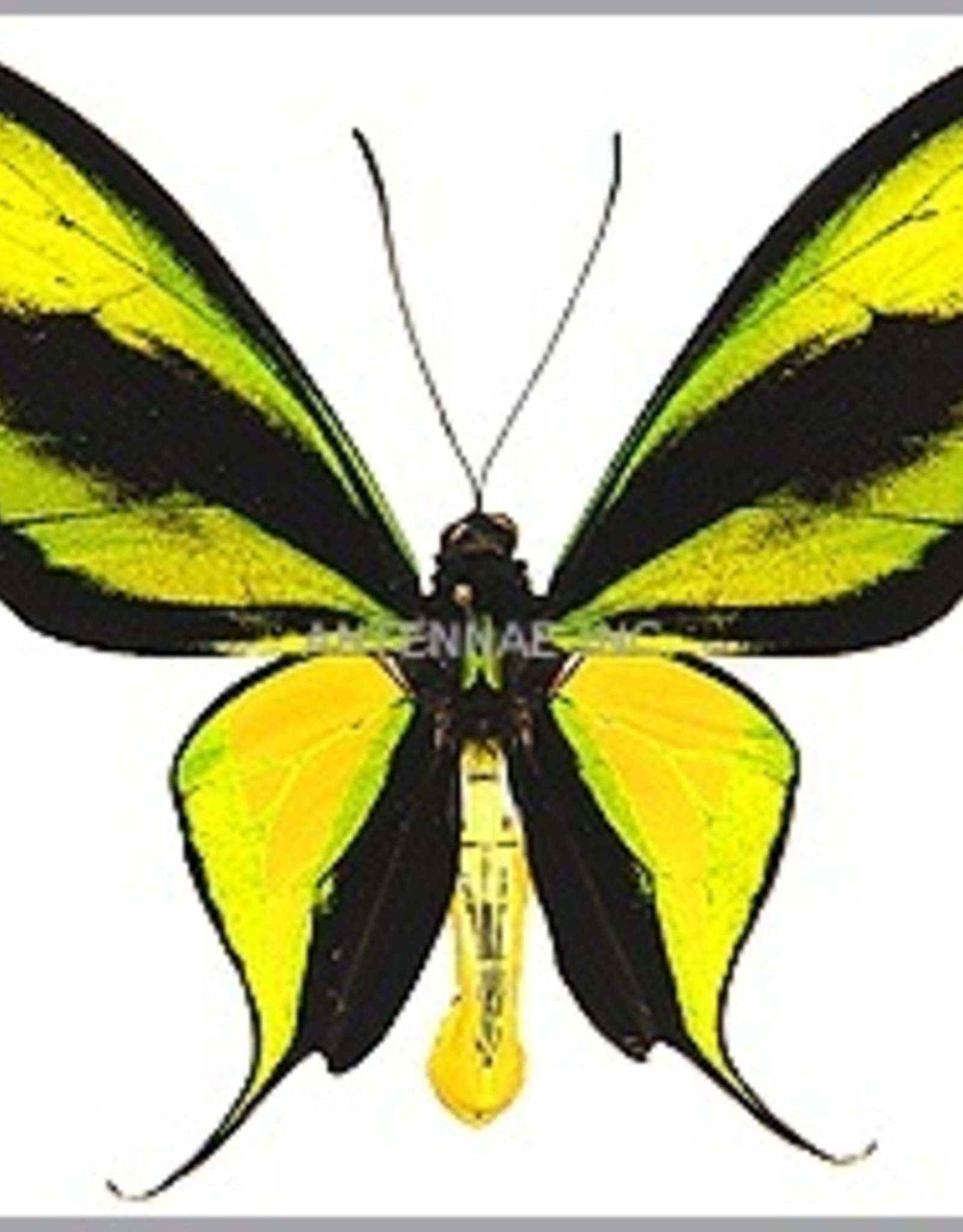 Ornithoptera paradisea occidentalis M A1 Irian Jaya, Indonesia