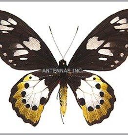 Ornithoptera paradisea arfakensis F A1 Indonesia