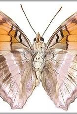 Doxocopa giseldis M A1 Peru