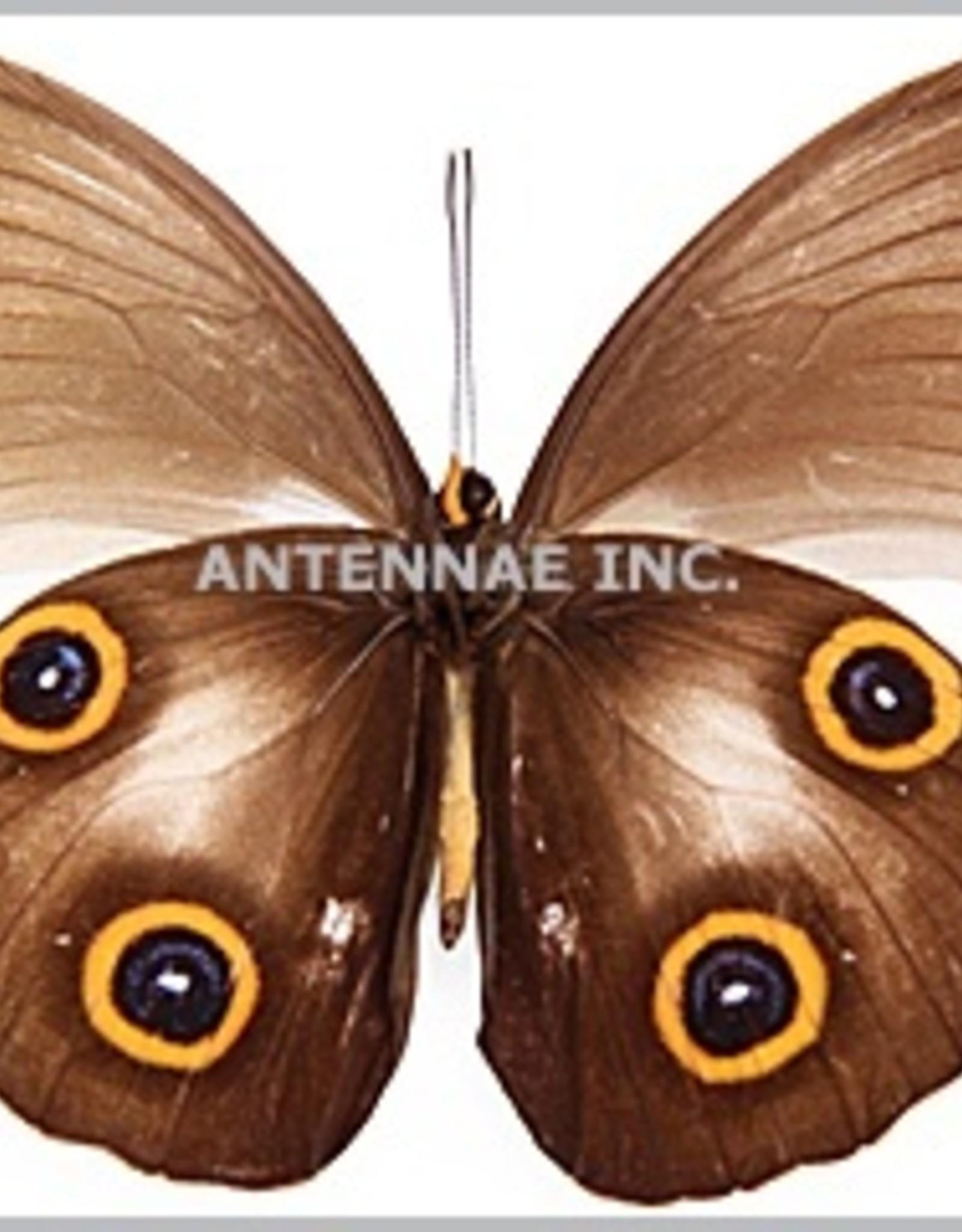 Hyantis / Taenaris MIX M A1 Indonesia