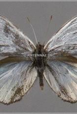 Argyrophorus argenteus M A1 Argentina
