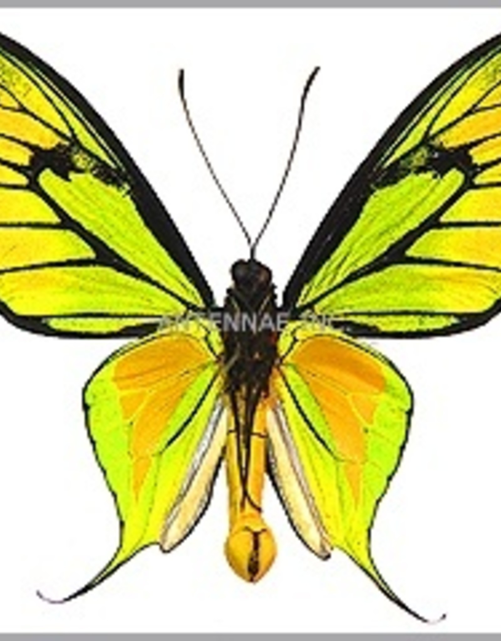 Ornithoptera paradisea occidentalis PAIR A1 Irian Jaya, Indonesia