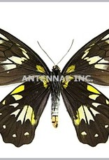 Ornithoptera victoriae regis F A1 PNG