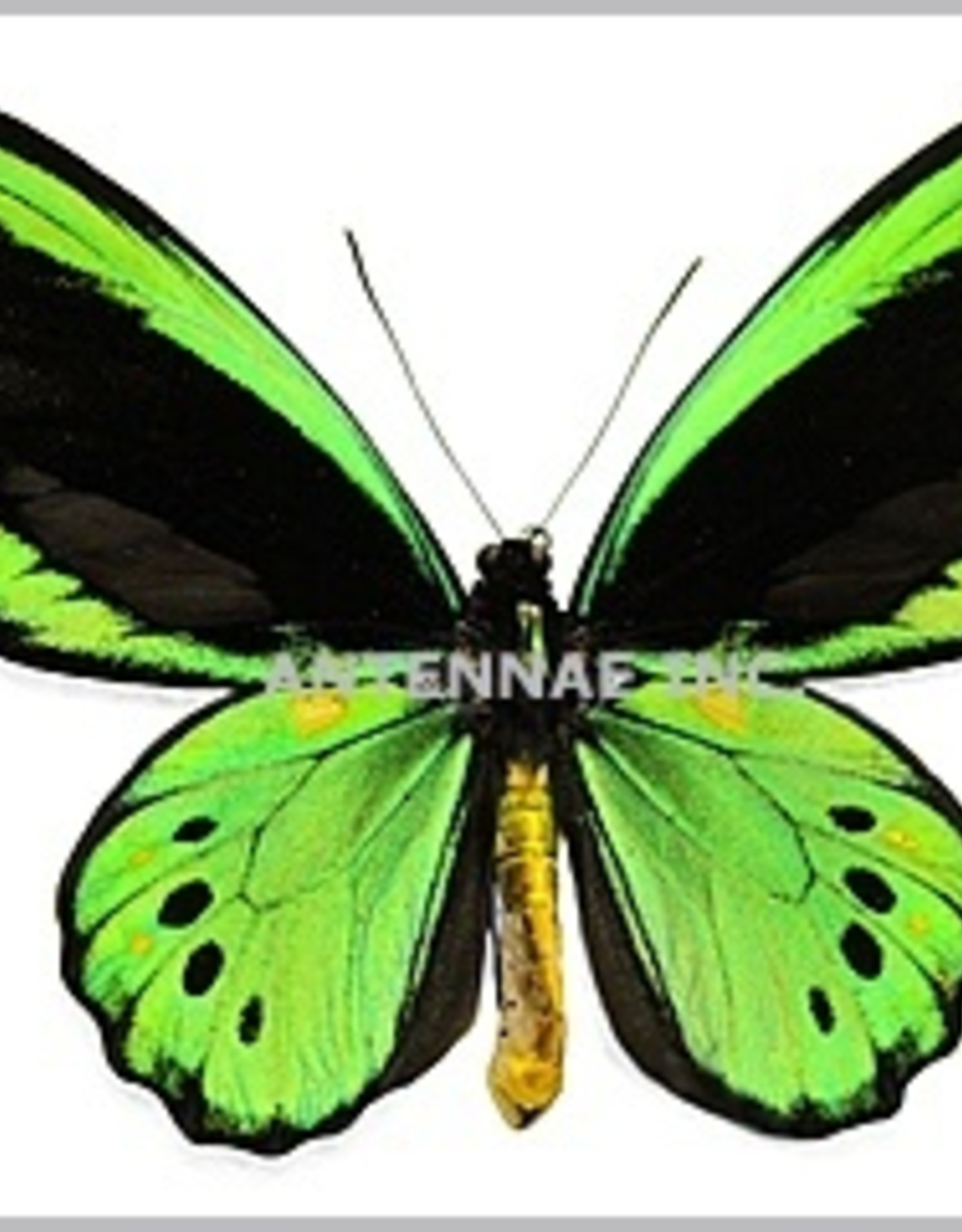 Ornithoptera priamus priamus PAIR A1 Indonesia