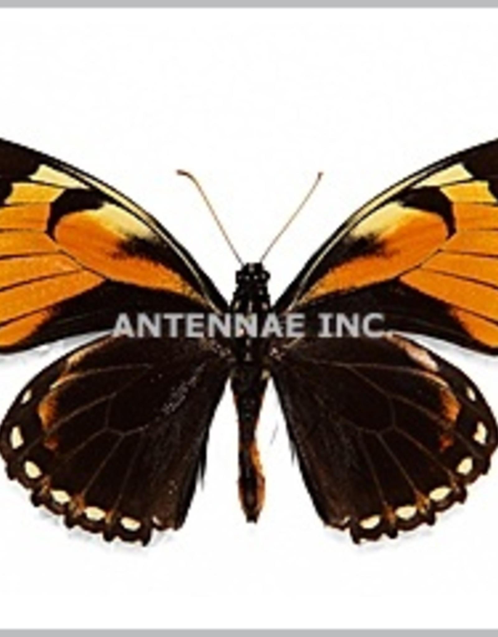 Papilio bachus chrysomelas M A1 Peru