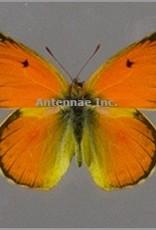 Colias lesbia lesbia PAIR A1 Argentina
