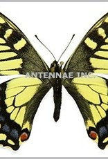 Papilio aliaska (machaon aliaska) M A1- Yukon Territory, Canada
