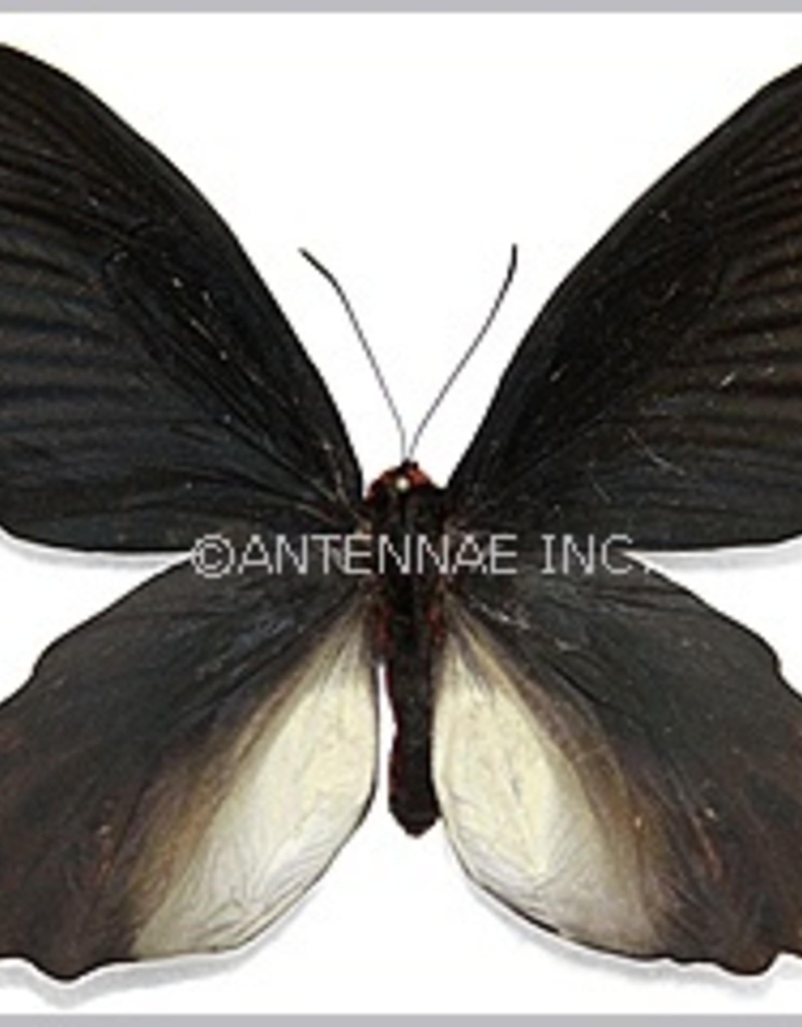 Atrophaneura horishana M A1/A1- Taiwan