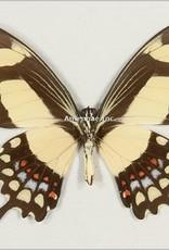 Papilio torquatus torquatus M A1 Peru