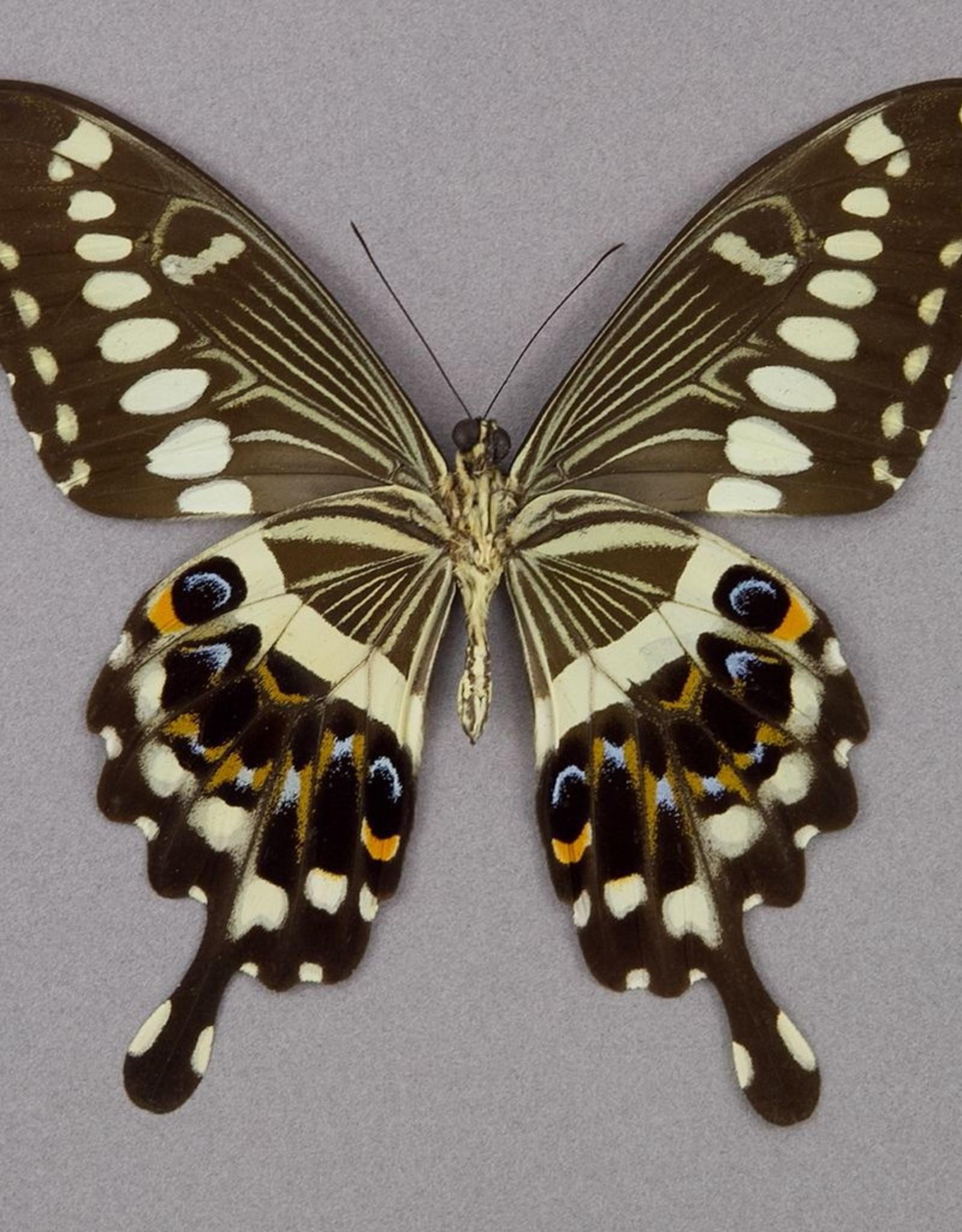 Papilio lormieri F A1 CAR