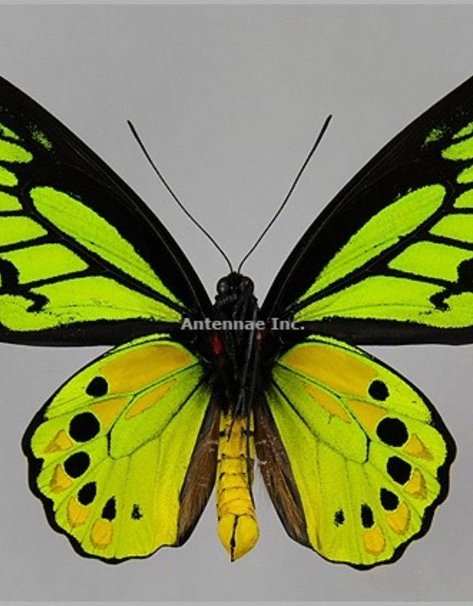 Ornithoptera akakeae akakeae M A1 Indonesia SPREAD SPECIMEN