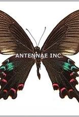 Papilio polyctor stockleyi M A1 Thailand