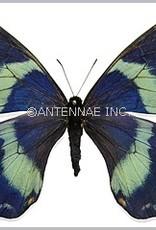 Papilio toboroi PAIR A1 Solomon Islands