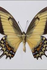 Papilio androgeus M A1 Peru